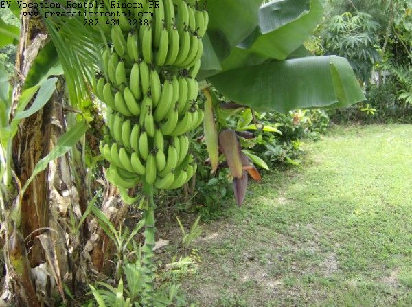 backyard rincon banana tree