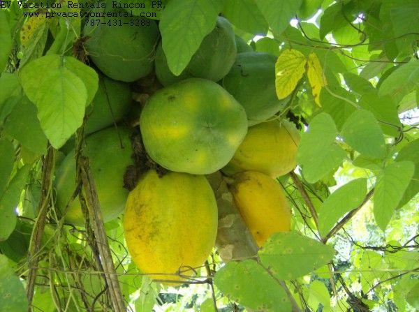 papaya backyard in rincon puerto rico